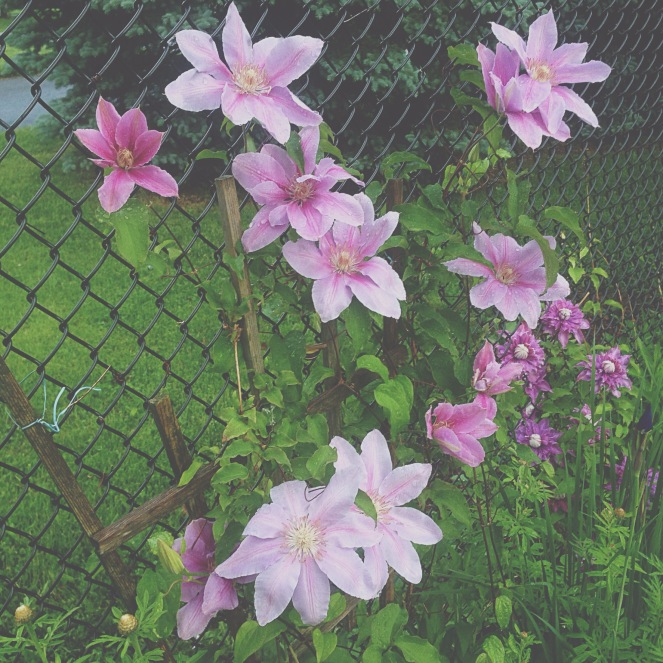 Summer means flowers and flowers means seeing a beautiful clematis!